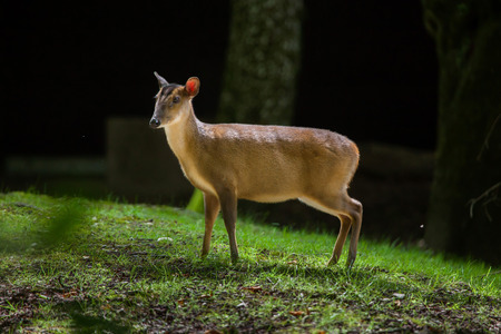 hoofed: Chinese muntjac (Muntiacus reevesi), also known as the Reeves muntjac. Stock Photo