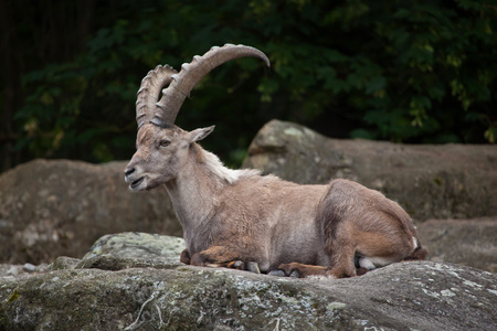 bovid: Alpine ibex (Capra ibex ibex), also known as the steinbock or bouquetin.