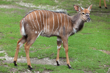 savannas: Nyala (Tragelaphus angasii). Wildlife animal.