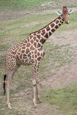savannas: Reticulated giraffe (Giraffa camelopardalis reticulata), also known as the Somali giraffe. Stock Photo