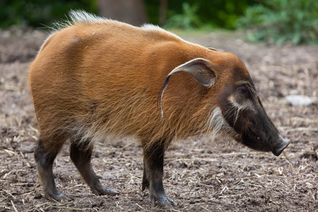 Red river hog (Potamochoerus porcus), also known as the bush pig.  Stock Photo