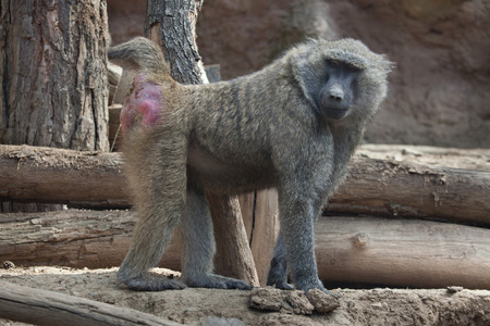 Olive baboon (Papio anubis), also known as the Anubis baboon. Stock Photo