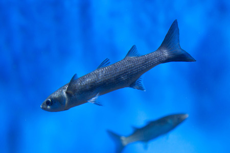 mullet: Thicklip grey mullet (Chelon labrosus). Stock Photo