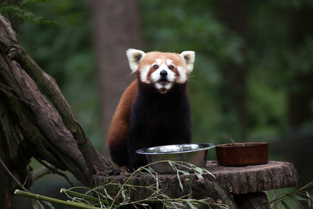 bearcat: Western red panda (Ailurus fulgens fulgens), also known as the Nepalese red panda.