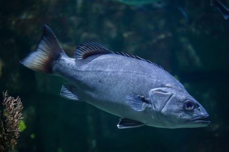 perciformes: Atlantic wreckfish (Polyprion americanus), also known as the stone bass.  Stock Photo