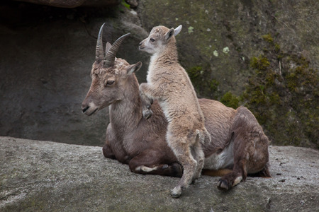 Alpine ibex (Capra ibex ibex), also known as the steinbock or bouquetin. Ibex kid playing with its mother.  Stock Photo