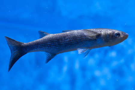 Thicklip grey mullet (Chelon labrosus). Stock Photo
