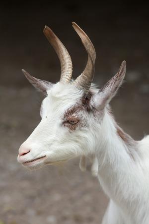 bovid: Girgentana goat (Capra aegagrus hircus).