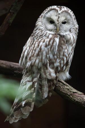 East European Ural owl (Strix uralensis uralensis).