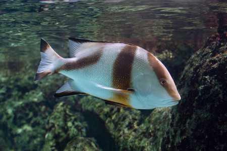 redfish: Emperor red snapper (Lutjanus sebae), also known as the government bream.