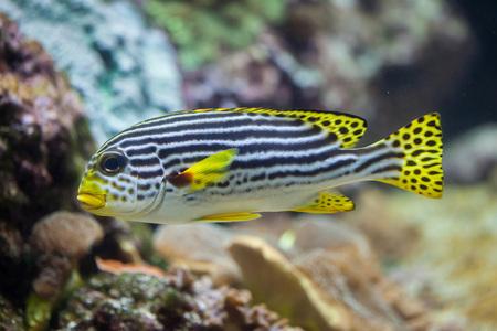 sweetlips: Yellow-banded sweetlips (Plectorhinchus lineatus). Marine fish. Stock Photo