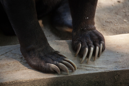 mammalia: Malayan sun bear (Helarctos malayanus) claw. Stock Photo