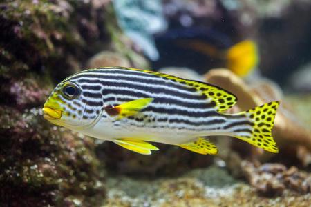 Yellow-banded sweetlips (Plectorhinchus lineatus). Marine fish. Stock Photo