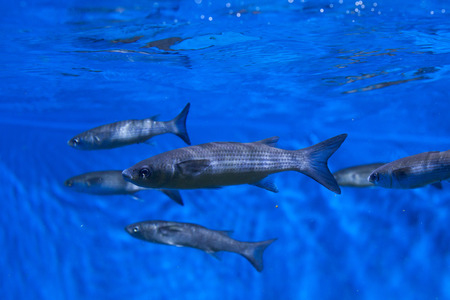 actinopterygii: Thicklip grey mullet (Chelon labrosus). Stock Photo