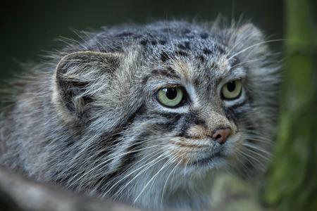 mammalia: Pallas cat (Otocolobus manul), also known as the manul. Stock Photo
