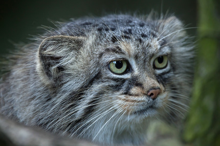 Pallas cat (Otocolobus manul), also known as the manul. Stock Photo