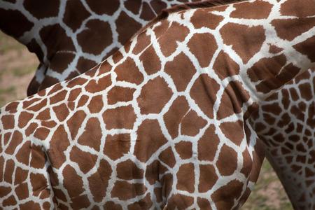 reticulata: Reticulated giraffe (Giraffa camelopardalis reticulata), also known as the Somali giraffe. Skin texture.