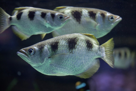 indopacific: Banded archerfish (Toxotes jaculatrix), also known as the spinner fish.