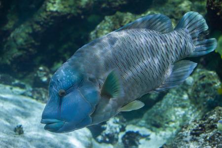 cheilinus undulatus: Humphead wrasse (Cheilinus undulatus), also known as the Napoleon fish.