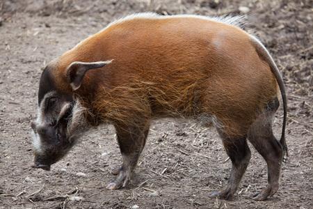 bush hog: Red river hog (Potamochoerus porcus), also known as the bush pig.  Stock Photo