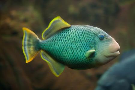 triggerfish: Yellowmargin triggerfish (Pseudobalistes flavimarginatus). Marine fish.