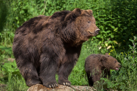 Newborn Kamchatka brown bear (Ursus arctos beringianus), also known as the Far Eastern brown bear with its mother.  Stock Photo