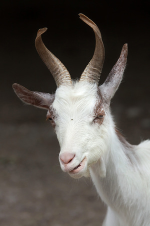 hircus: Girgentana goat (Capra aegagrus hircus).