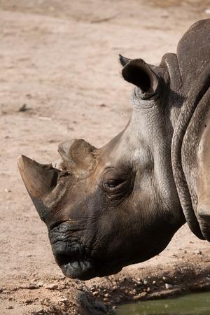 mammalia: Southern white rhinoceros (Ceratotherium simum simum).