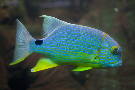 perciformes: Sailfin snapper (Symphorichthys spilurus), also known as the blue-lined sea bream. Stock Photo