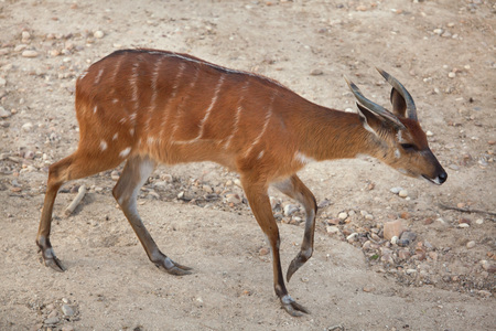 Forest sitatunga (Tragelaphus spekii gratus), also known as the forest marshbuck. Stock Photo