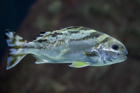 grunter: Target fish (Terapon jarbua), also known as the crescent bass.