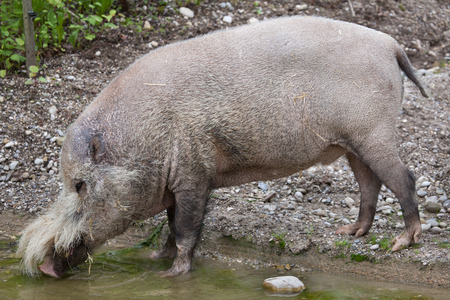 Bornean bearded pig (Sus barbatus), also known as the bearded pig. Stock Photo