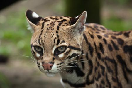 Ocelot (Leopardus pardalis), ook bekend als de dwergleepaard. Stockfoto
