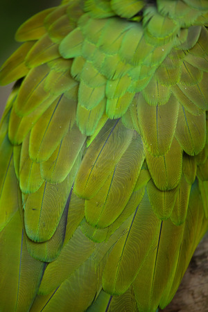 ara: Green military macaw (Ara militaris). Plumage texture. Stock Photo