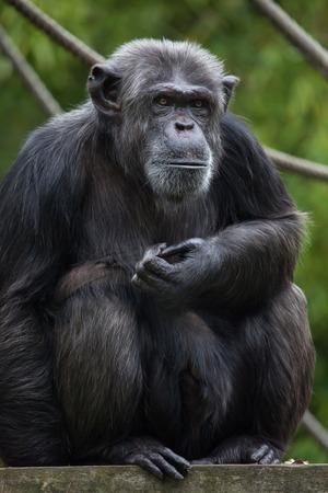 chimpances: chimpancé común (Pan troglodytes), también conocido como el chimpancé robusto. Foto de archivo