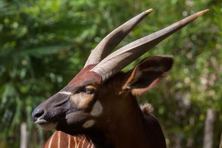 hoofed: Eastern bongo (Tragelaphus eurycerus isaaci), also known as the mountain bongo.