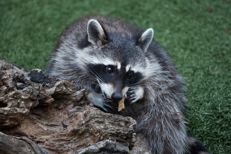 mammalia: Raccoon (Procyon lotor), also known as the North American raccoon.  Stock Photo