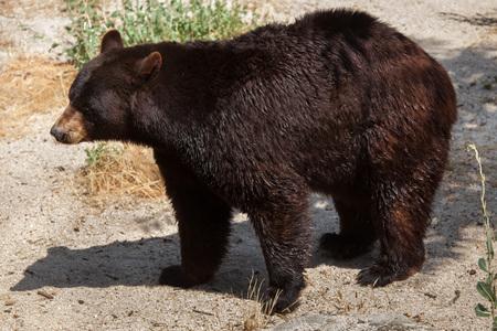 American black bear (Ursus americanus).