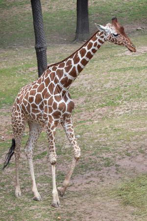 giraffa camelopardalis reticulata: Reticulated giraffe (Giraffa camelopardalis reticulata), also known as the Somali giraffe. Stock Photo