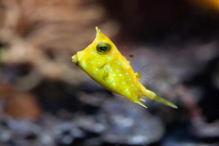 boxfish: Longhorn boxfish (Lactoria cornuta), also known as the horned boxfish.