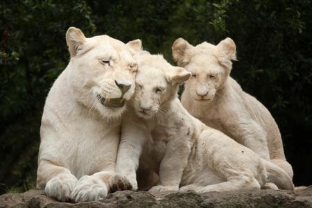 León blanco femenino con dos cachorros de león recién nacidos. El león blanco es una mutación del color del león de Transvaal (Panthera leo krugeri), también conocido como león africano del sudeste o león de Kalahari. Foto de archivo