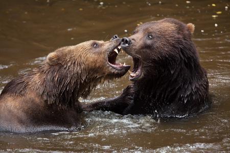 far eastern: Kamchatka brown bears (Ursus arctos beringianus), also known as the Far Eastern brown bears fighting in water.