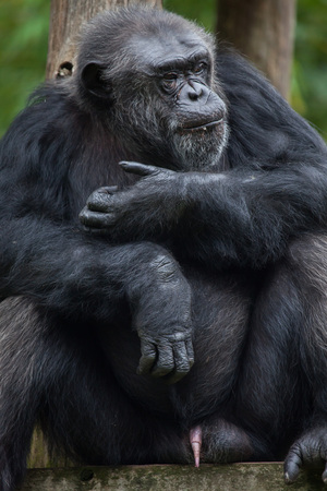 chimpances: Common chimpanzee (Pan troglodytes), also known as the robust chimpanzee.