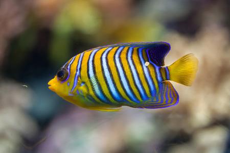 pygoplites diacanthus: Royal angelfish (Pygoplites diacanthus), also known as the regal angelfish.