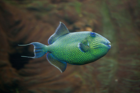 triggerfish: Yellow-spotted triggerfish (Pseudobalistes fuscus), also known as the blue triggerfish.