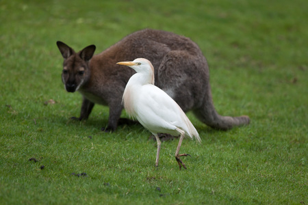 egrets: Cattle egret (Bubulcus ibis) and red-necked wallaby (Macropus rufogriseus), also known as the Bennett wallaby. Stock Photo