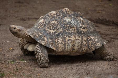 savannas: Leopard tortoise (Stigmochelys pardalis). Wildlife animal.