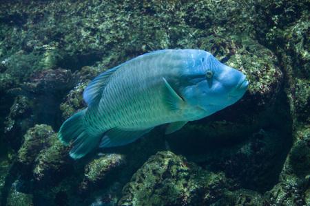 cheilinus: Humphead wrasse (Cheilinus undulatus), also known as the Napoleon fish.