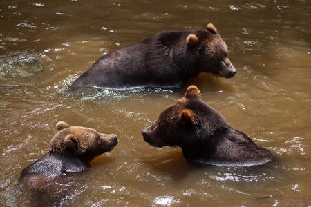far eastern: Kamchatka brown bear (Ursus arctos beringianus), also known as the Far Eastern brown bear.