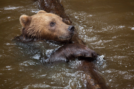 Kamchatka brown bear (Ursus arctos beringianus), also known as the Far Eastern brown bear swimming. Stock Photo